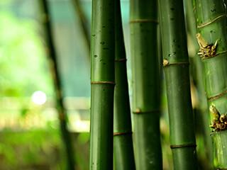 bamboo-320x240