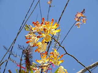 Myrmecophila Orchid