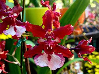 orchid-plants-320