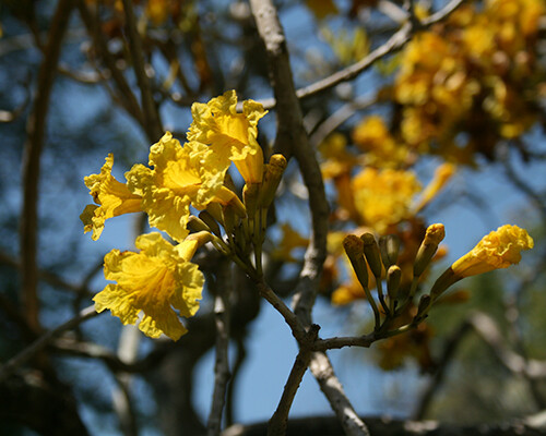 What's in Bloom: Trumpet Trees