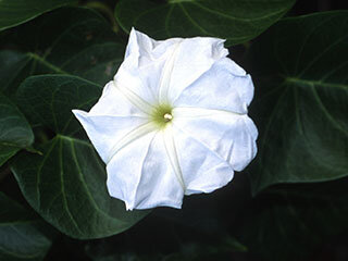 Moonvine (Morning Glory Family)