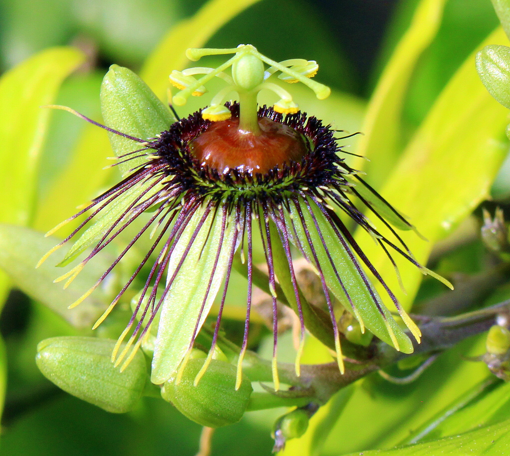 Bizarre Passion Flower in Bloom