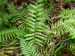 Southern shield fern, southern wood fern,Kunth's maiden fern (Thelypteris family)