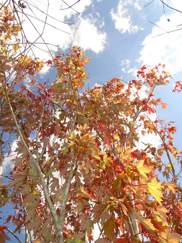 Red Maple (soapberry family)