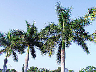 Royal Palm (Palm Family)