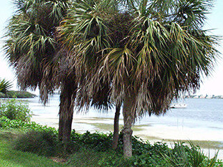 Cabbage Palm, Sabal Palm (Palm Family)