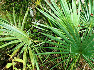 bluedwarfpalmetto