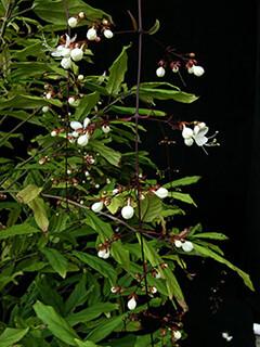 labi-clerodendrum-schmidtii-2-240
