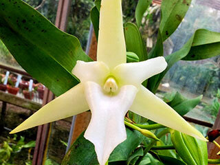 orchid-Angraecum-sesquipedale-comet-orchid-320