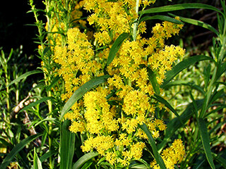 Goldenrod (Sunflower Family)